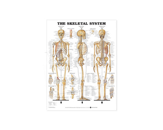 Anatomical Poster, Skeletal System - Click for larger picture