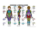 "GP105L-Female Muscle Guide,24""x36"", Laminated"