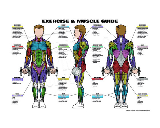 "Male Muscle Guide,24""X36"", Laminated - Click for larger picture"