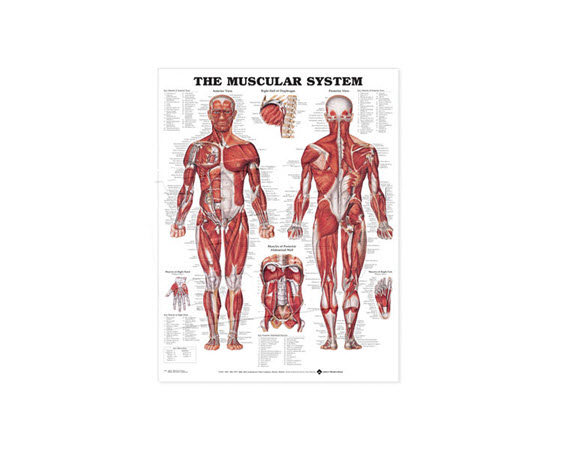 GP620-Anatomical Chart, Muscular System