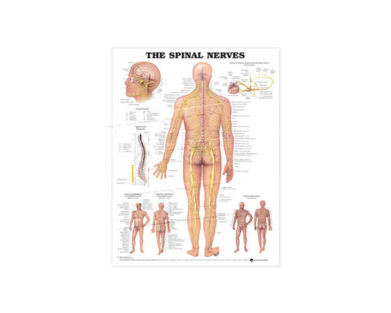 GP628-Anatomical Chart, Spinal Nerves