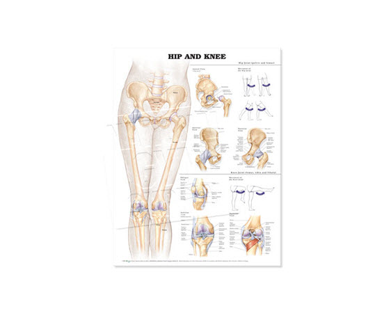 GP630-Anatomical Chart Hip & Knee