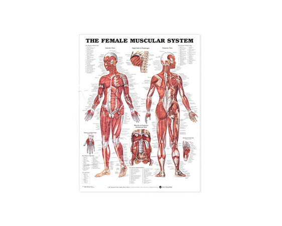 GP632-Anatomical Chart, Female Muscular System